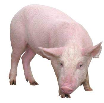 китайский календарь свинья