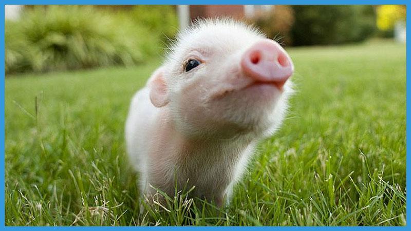 китайский календарь качества свиньи