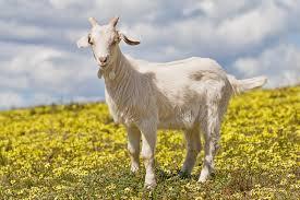 китайский календарь коза