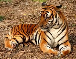 китайский календарь тигр